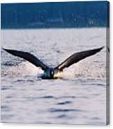 Loon Take Off Aborted Canvas Print