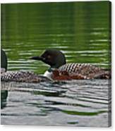 Loons With Chicks Canvas Print