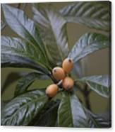 Loquat Fruit Canvas Print
