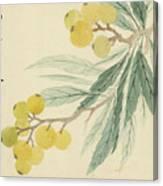 Loquat Canvas Print