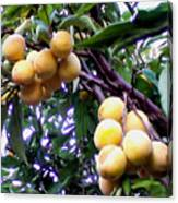 Loquats In The Tree 1 Canvas Print