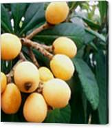 Loquats In The Tree 3 Canvas Print