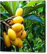 Loquats In The Tree 4 Canvas Print