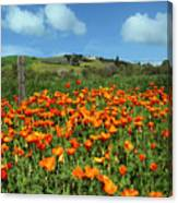 Los Olivos Poppies Canvas Print