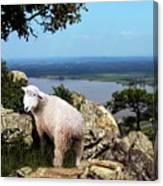 Lost Sheep Canvas Print