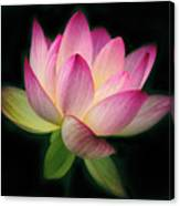Lotus In The Limelight Canvas Print