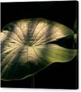 Lotus Leaves Morning  Shower Canvas Print