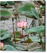 Lotus Pond -2 Canvas Print