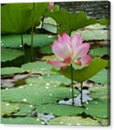 Lotus Pond #3 Canvas Print