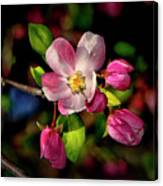 Louisa Apple Blossom 001 Canvas Print