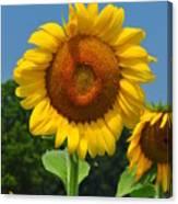 Louisa, Va. Sunflower 6 Canvas Print
