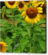 Louisa, Va. Sunflowers 3 Canvas Print