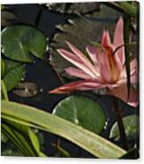 Louisiana Waterlilly Canvas Print