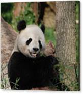 Lounging Giant Panda Bear With A Shoot Of Bamboo Canvas Print