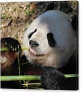 Lovable Giant Panda Bear With Big Paws Canvas Print