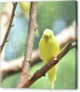 Lovable Little Budgie Parakeet Living In Nature Canvas Print