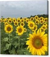 Love My Sunflowers Canvas Print