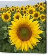 Love Sunflowers Canvas Print