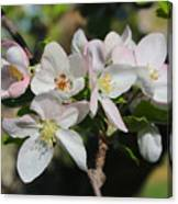 Lovely Apple Blossoms Canvas Print
