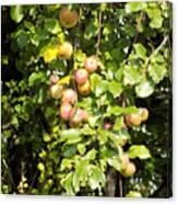 Lovely Apples On The Tree Canvas Print