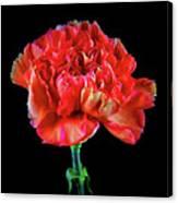 Lovely Carnation 12718-1 Canvas Print