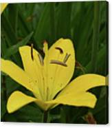 Lovely Close Up Of A Yellow Lily In Full Bloom Canvas Print