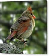 Lovely Female Cardinal Canvas Print