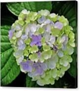 Lovely Hydrangea Canvas Print