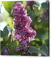 Lovely Lilac Canvas Print