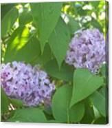 Lovely Lilacs 2 Canvas Print