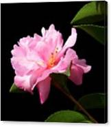 Lovely Pink Camelia Canvas Print