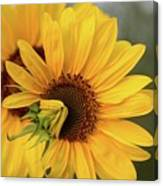 Lovely Sunflowers Canvas Print