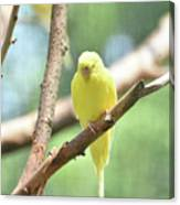 Lovely Yellow Budgie Parakeet In The Wild Canvas Print