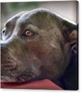 Loving Pitbull Eyes Canvas Print