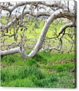 Low Branches On Sycamore Tree Canvas Print