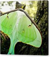 Luna Moth No. 3 Canvas Print