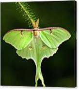 Luna Moth Spreading Its Wings. Canvas Print