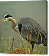 Lunch Time For The Heron Canvas Print