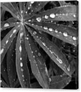 Lupin Leaves With Rain Drops  Canvas Print