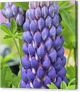 Lupin Persian Slipper Flower Canvas Print