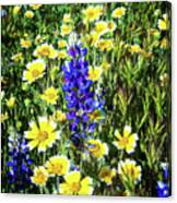 Lupine Amidst Tidy Tips Canvas Print