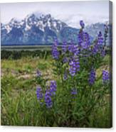 Lupine Beauty Canvas Print