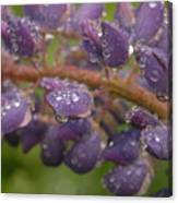 Lupine With Raindrops Canvas Print