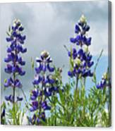 Lupines Against The Sky Canvas Print
