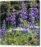 Lupines At The River Canvas Print
