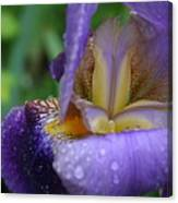 Luscious Blooming Iris Canvas Print