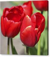 Luscious Tulips  Canvas Print