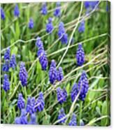 Lush Grape Hyacinth Canvas Print