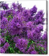 Luxurious Lilacs Canvas Print