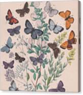 Lycaenidae Canvas Print